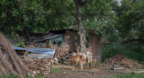Humble house of India with cows and other objects, shot from the train. Photograph of humble house in India with cows and other objects, shot from the train royalty free stock photography