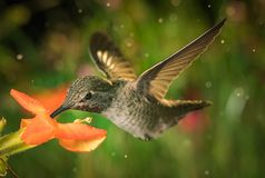 Hummingbird and the monkey flowers Royalty Free Stock Photo