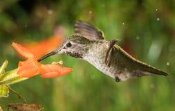 Hummingbird profile and the monkey flowers Stock Photo