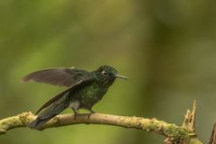 Tourmaline sunangel. This is a photograph of a tourmaline sunangel hummingbird taken in Ecuador royalty free stock images