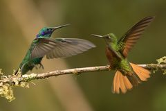 Chestnut breasted coronet versus Sparkling violetear. This is a photograph of a chestnut breasted coronet arguing with a sparkling violetear, taken in Ecuador stock image
