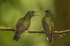 Two buff tailed coronets arguing. This is a photograph of two buff tailed coronets arguing, taken in Ecuador stock image