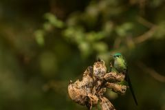 Long tailed sylph Royalty Free Stock Image
