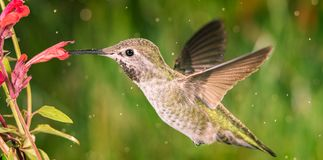 Hummingbird visits anise hyssop royalty free stock photography