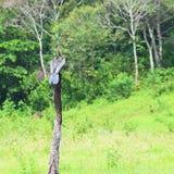 Indian Darter - Oriental Darter - Anhinga Melanogaster - Bird sitting on Wood in Periyar National Park, Kerala, India. This is a photograph of Indian Darter royalty free stock image