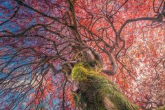 Japanese maple in autumn colors with blue sky and clouds Stock Images
