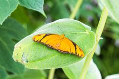 Julia Butterfly. A photograph of a Julia Butterfly sitting on a green leaf Stock Photos