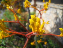 Photograph of Kangaroo Paw Plant Buds Stock Photo