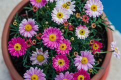 Photograph of a kind of pink daisies in the house basket. Pink, red, yellow and green Royalty Free Stock Photo