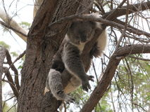 Koala in its natural environment Stock Images