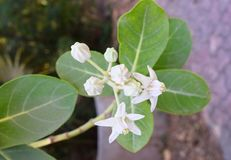 Leaves and Flowers of Calotropis Gigantea - A Medicinal Plant. This is a photograph of leaves and white flowers of calotropis gigantea plant royalty free stock photo