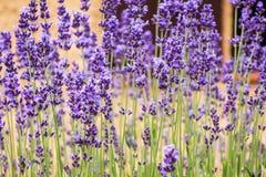 Levanda. Photograph of levanda blooms , background image royalty free stock image