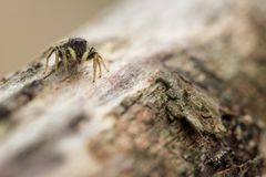 Jumping spider on wood. This is a photograph of a little jumping spider on a piece of wood stock photos