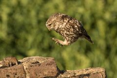 Jumping little owl. This is a photograph of a little owl that jumps towards a dead mouse royalty free stock images