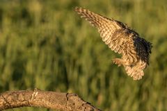 Little owl landing. This is a photograph of a little owl landing on a tree branch royalty free stock photos