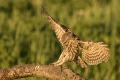 Little owl landing. This is a photograph of a little owl landing on a tree branch stock images