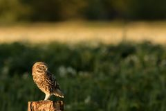 Little owl perched. This is a photograph of a little owl that is perched on a tree stump stock photography