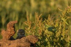 Little owl peek a boo Stock Image