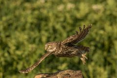 Little owl taking off. This is a photograph of a little owl that takes off royalty free stock image