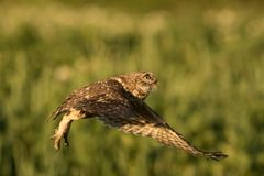 Little owl taking off. This is a photograph of a little owl taking off stock photography