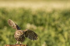 Little owl taking off. This is a photograph of a little owl that was about to take of stock image
