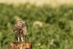 Little owl with a little mouse. This is a photograph of a little owl which caught a small mouse stock image