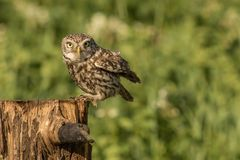 Little owl perched. This is a photograph of a little owl which has just perched on a tree stump royalty free stock photos
