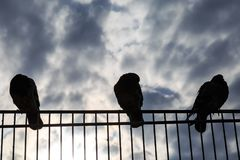 Pigeons perched on a fence Royalty Free Stock Photography