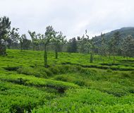 Lush Green Tea Estate in Munnar, Kerala, India. This is a photograph of a lush green tea estate in Munnar, Kerala, India Royalty Free Stock Image