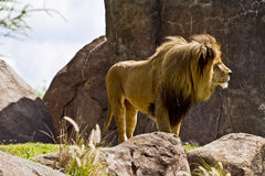Male African Lion Standing Majestic Royalty Free Stock Photos