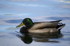 Photograph of male Mallard or drake, which features an unmistakable green head atop a white neckband that sets off a chestnut-colo Royalty Free Stock Images