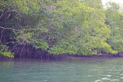 Mangrove Trees with Aerial Roots in Forest and Water Creek - Green Landscape - Baratang Island, Andaman Nicobar, India. This is a photograph of mangrove trees stock photography
