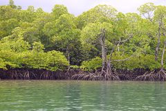 Mangrove Trees with Aerial Roots in Forest and Water Creek - Green Landscape - Baratang Island, Andaman Nicobar, India. This is a photograph of mangrove trees stock images