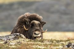 Muskox chewing on some plants. This is a photograph of a musk ox chewing on some plants Royalty Free Stock Image