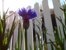 Photograph of Opened Blue Bachelor Button Flower. Macro photograph of Blue boy bachelor button flower. Background is a white picket fence. Bachelor button stock image