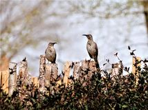 A photograph of a pair of curved billed thrashers on a fence. A photograph of a pair of curved billed thrasher birds sitting on a fence together Stock Photography