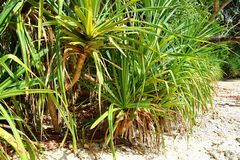 Pandanus Odorifer - Kewda or Umbrella Tree with Long Spiny Leaves - Pine - Tropical Plant of Andaman Nicobar Islands. This is a photograph of pandanus palm tree royalty free stock photography