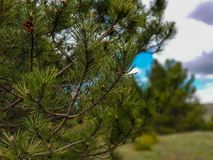 A photograph of pine tree with cloudy sky. In background royalty free stock images