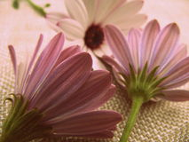 Photograph Pink African Daisies Texture. Three pink or purple flowers, African Daisies. Featuring the back of two flowers and the front of one flower in the royalty free stock photo