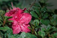 Photograph of a pink flower Azalia Stock Photos
