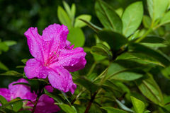 Photograph of a pink flower called Azalia Stock Images
