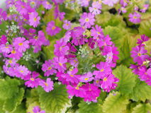 Pink primula Royalty Free Stock Photos