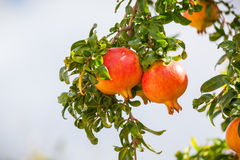 This is a photograph of Pomegranate fruits. Royalty Free Stock Images