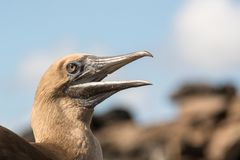 Red footed boobie. This is a photograph of a red footed boobie taken in the galapagos islands, Ecuador stock photo
