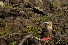 Red footed boobie royalty free stock photos