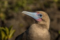 Red footed boobie. This is a photograph of a red footed boobie taken in the galapagos islands, Ecuador stock photography