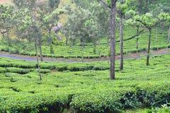 Road Passing through Lush Green Tea Plantations - Tea Estate near Munnar, Idukki, Kerala, India. This is a photograph of a road passing through lush green tea Royalty Free Stock Photography