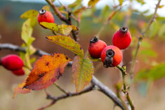 The photograph of rose hips on a dog rose. Rosa canina Royalty Free Stock Photography