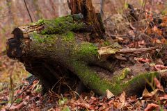Decadent stump. This is a photograph of a rotten tree stump Royalty Free Stock Images
