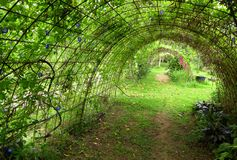 Planting frame, pea plant, organic farm. A photograph showing the beautiful tunnel shape metal arch planting frames for pea plants, taken on an organic farm in stock images